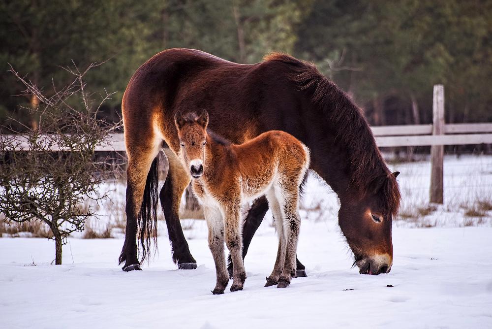Divocí koně z anglického Exmooru do lokalit Josefovské louky a Na Plachtě bezplatně zapůjčila společnost Česká krajina.  Ilustrační foto.