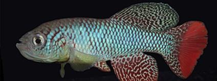 Mladé a staré ryby ve výzkumu halančíka tyrkysového