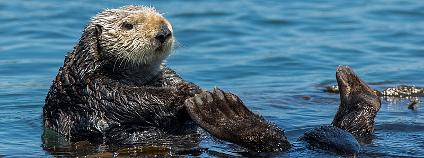 Mořská vydra Foto: mikebaird Flickr