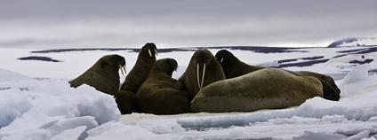 Mrož Foto: Polar Cruises Flickr