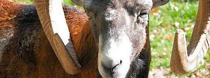 Muflon Foto: Petra Karstedt Wikimedia Commons