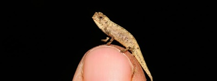 Samec nano chameleona (Brookesia nana) je nejmenší dospělý plaz, jaký byl kdy objeven Foto: Frank Glaw idw-online.de