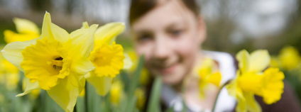 Narcisy Foto: Air Images Shutterstock
