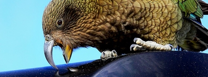 Papoušek nestor kea Foto: Bernard Spragg. NZ Flickr.com
