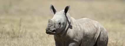 Mládě nosorožce Foto: Valentina Storti Flickr