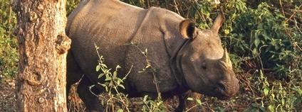 Nosorožec indický v nepálské rezervaci Čitván Foto: Bernard DUPONT Flickr