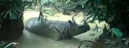 Nosorožec v bahenní lázni Foto: Youtube.com