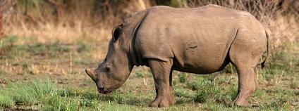 nosorožec tuponosý Foto: Blake Matheson Flickr