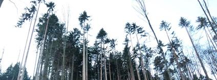 Ohrožený porost vzdálený asi 100 metrů od kalamitního jádra rezervace Foto: Lesy ČR