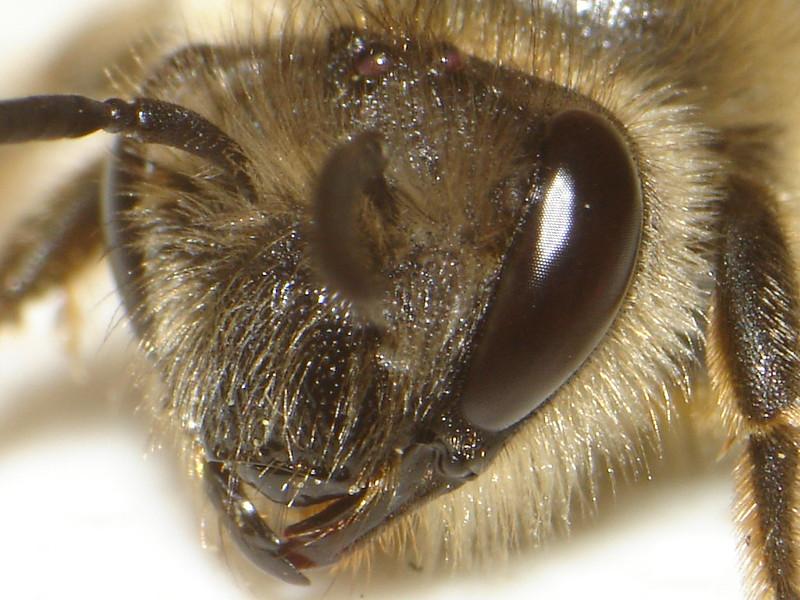 Nizozemští vědci naučili včely odhalovat covid-19