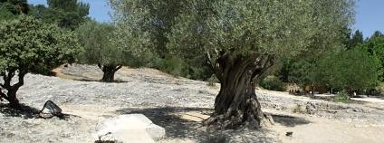 Tisícileté olivovníky jsou dnes chráněny, aby si je nemohli milovníci kuriozit odvézt do své vlasti.