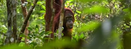 Orangutan Foto: Jorge Franganillo unsplash.com