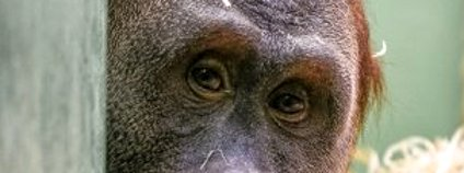 Orangutan Pagy v pražské zoo  Foto: Petr Hamerník Zoo Praha