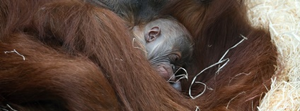 V Zoo Praha se narodilo mládě orangutana sumaterského Foto: Zoo Praha