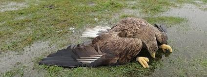 Jeden ze čtyř otrávených orlů mořských u Velkého Boru na Klatovsku v únoru 2021 Foto: DES OP Záchranná stanice živočichů Plzeň