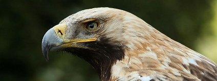 Orel královský Foto: AngMoKio Wikipedia Commons