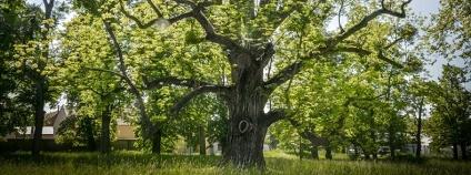 Titul Strom roku 2017 získal zhruba 230 let starý ořešák z Kvasic na Kroměřížsku, který roste v památkově chráněném zámeckém parku. Obdržel přes 10.000 hlasů z celkových více než 40.000.