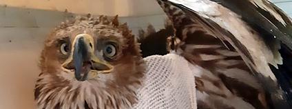 Samice orla královského zraněná o elektrické vedení Foto: Záchranná stanice v Rajhradě