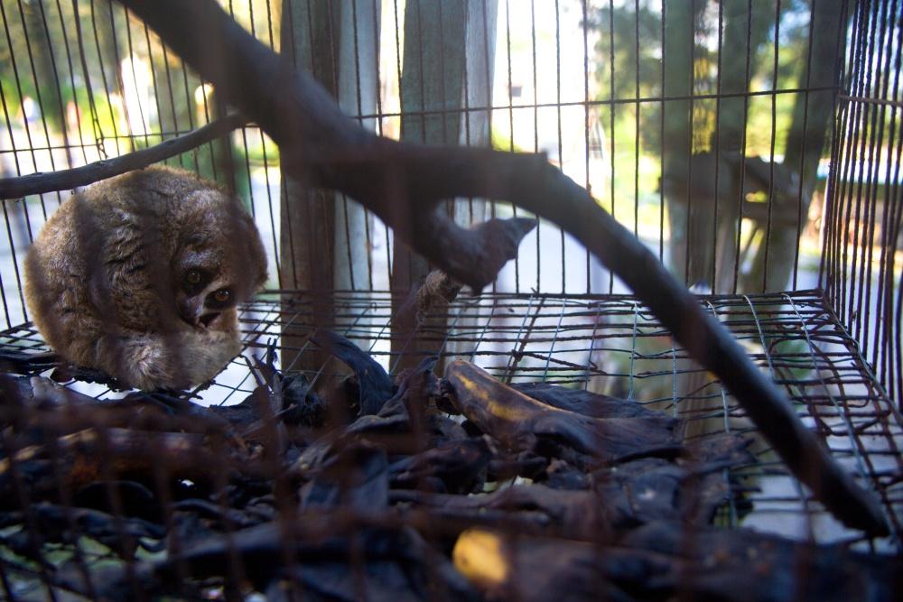 Outloň váhavý u majitele v malé ptačí kleci u silnice. Odtud byl zabaven a přemístěn do Kukang Rescue Programu.