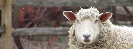 Ovce v zimě Foto: Mari Partyka Unsplash