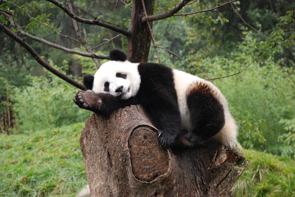 Z ochrany pand neplyne pro další šelmy v rezervacích žádný užitek