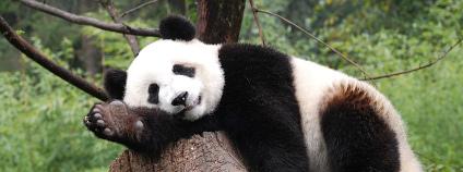 Panda velká v čínské přírodní rezervaci Wolong Foto: Blake Lennon / Flickr.com