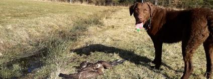 Pes vycvičený pro vyhledávání otrávených návnad a živočichů. Foto: Klára Hlubocká Česká společnost ornitologická