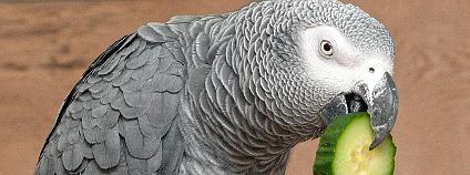 Papoušek šedý - žako Foto: Papooga / Wikimedia Commons
