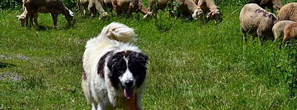 Pastevecký pes Foto: Jeanne Menjoulet Flickr.com