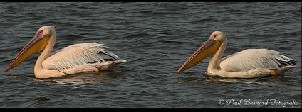 pelikán bílý. Foto: Paul Barnard/Flickr