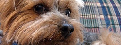 Jorkšírský teriér Foto: choco@Nerima Flickr