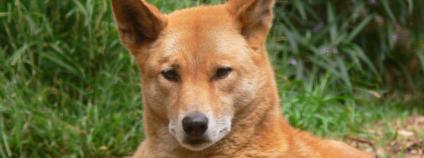 Divoký pes - Dingo v severovýchodní Austrálii.