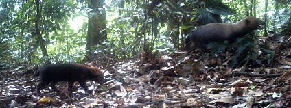 Foto: Ricardo Moreno, GEMAS Panam� , Fundaci�n Natura, Fondo Dari�n, Fundaci�n Yaguar� Panam�, Southern Illinois University