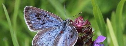 Modrásek černoskvrnný Foto: Chris Cooper Flickr