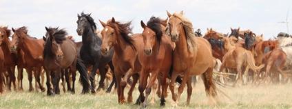 Koně běžící mongolskou stepí Foto: Akademie věd ČR