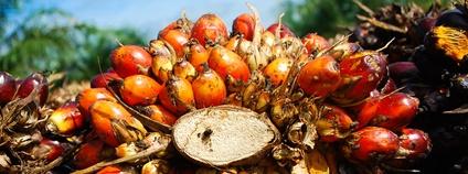 Plody palmy olejné Foto: CIFOR Flickr