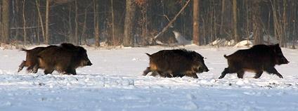Prasata divoká v zimě Foto: vlod007 Flickr