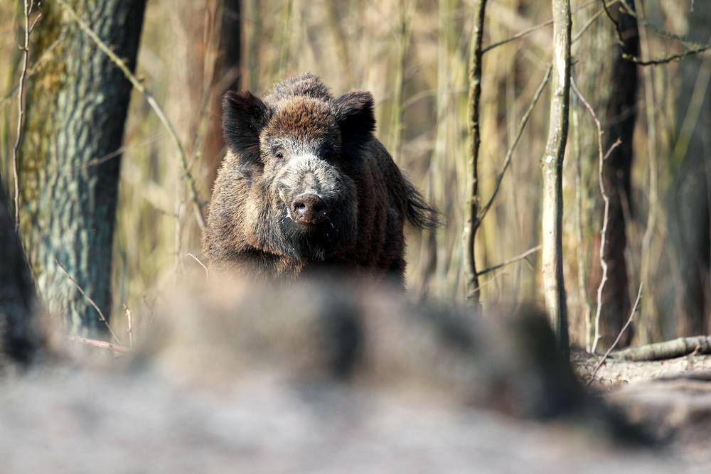 Počet odlovených divokých prasat letos za pololetí meziročně klesl o více než 16.000 na 69.335. / Ilustrační foto