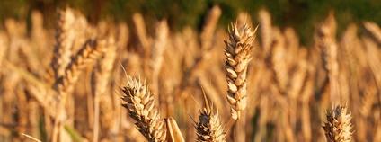 Ozimá pšenice Foto: CropShot Flickr