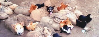 Psi v Indii prodávaní na maso Foto: Animal People Forum Flickr.com