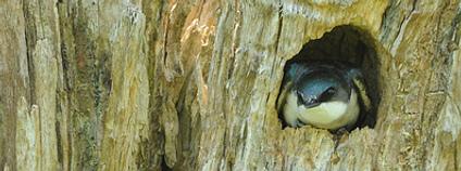 Pták v dutině stromu Foto: Putneypics / Flickr.com