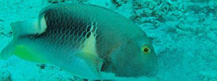 Pyskon žlutolící (Choerodon anchorago). Foto: danielguip / Flickr