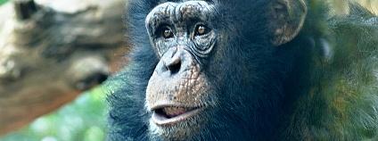 Šimpanz Sherley v hodonínské zoologické zahradě. Radomír Dohnal