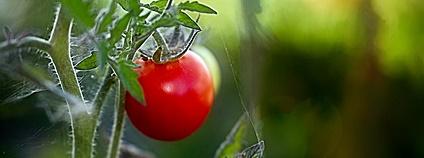 Rajčata Foto: Colin Flickr