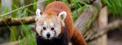 Panda červená (Ailurus fulgens), nazývaná též panda malá, je menší stromová šelma, jediný zástupce monotypické čeledi pandy malé (Ailuridae). Pandě velké není panda červená blízce příbuzná, má pouze podobný způsob života. Tato panda je o něco větší než kočka domácí. Má rudo-hnědou srst a dlouhý ocas, který pandám pomáhá udržovat rovnováhu na stromech. Ve volné přírodě se panda červená průměrně dožívá 8–10 let. Obývá horské lesy jižní Číny, Nepálu, Bhútánu, Indie a Myanmaru. Patří mezi nejvýše žijící zvířata na světě, vyskytuje se i ve více než 4 000 m n. m. Její potravu tvoří z velké většiny bambus.