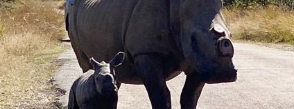 V Jižní Africe preventivně odstraňují rohy nosorožcům. Bojí se nájezdů pytláků Foto: Facebook organizace Rhino 911