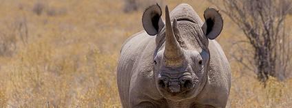 Nosorožec Foto: Martin Diepeveen Flickr