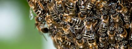 Včelí roj Foto: sellingpix / Shutterstock