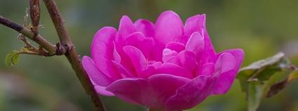 Růže damašská Foto: Hélène Rival Wikimedia Commons