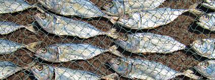 Rybky v síti Foto: John Roberts Flickr